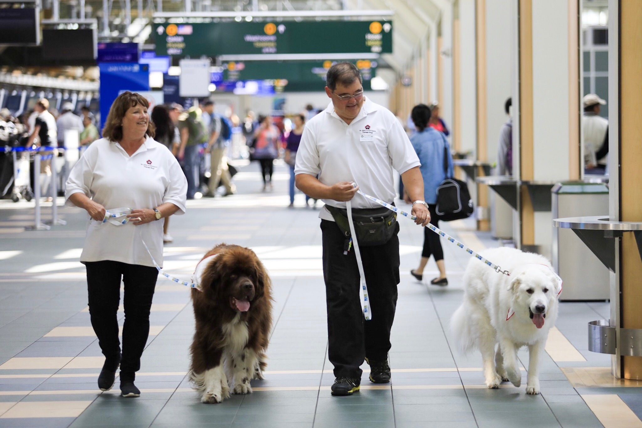 St John Ambulance handlers lead YVR Ambassador Dogs in the terminal