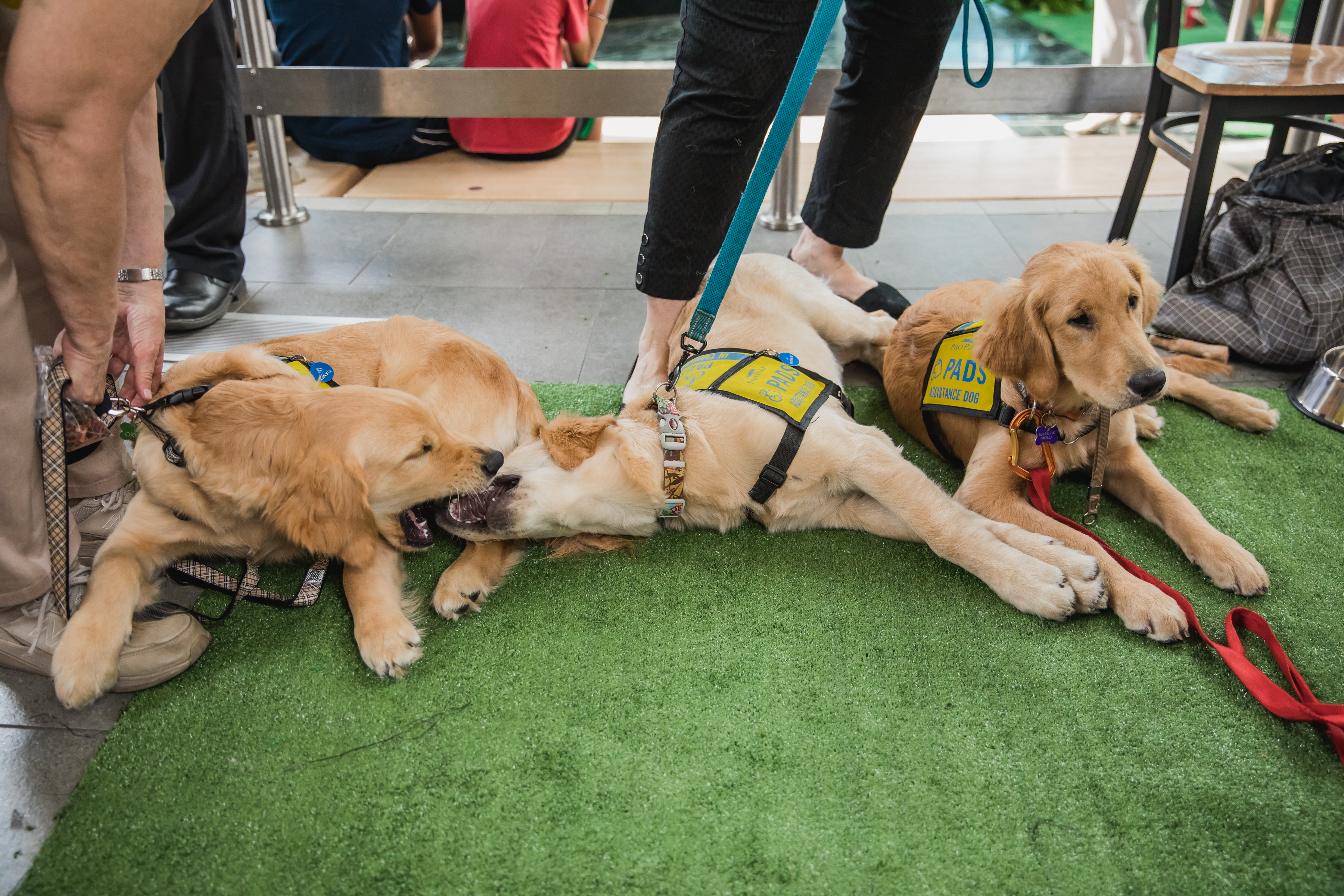 Amelia, Wilbur and Orville, YVR's sponsored PADS Dogs came back to YVR to say hello to their airport friends
